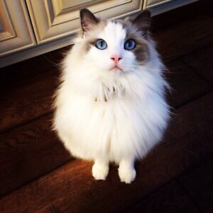 Looking for a male ragdoll  prefer blue point
