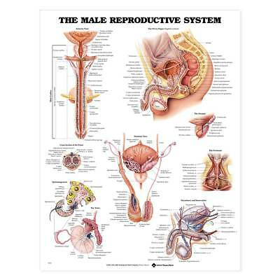 The Male Reproductive System Anatomical Chart 20'' x 26'' (Laminate and - Male Reproductive System Anatomical Chart