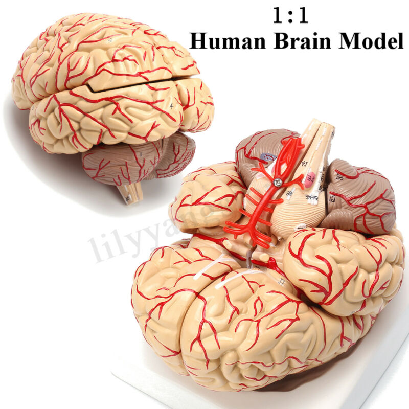 1:1 Human Anatomical Brain Professional Dissection Medical Teaching Study Model