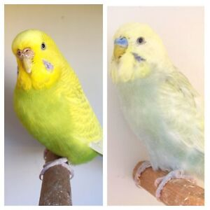 Gorgeous Proven Breeding Pair of Budgies! Boondall Brisbane North East Preview