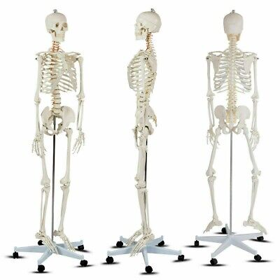 Life-size Human Skeleton Model Medical Schoolanatomy Class W Stand 70.8 Tall