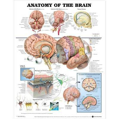 Anatomy Of The Brain Anatomical Chart 20 X 26 Inches Structures Of Human Brain