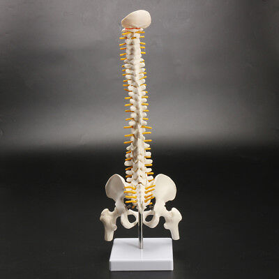 18 Spine Model With Pelvis Femur Heads 12 Life Lab Equipment Detailed New