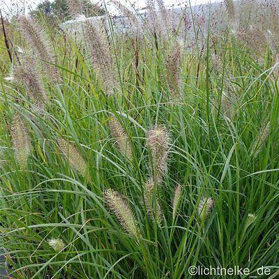 nnisetum alopecuroides HERBSTZAUBER) dekoratives Ziergras (Dekoratives Gras)