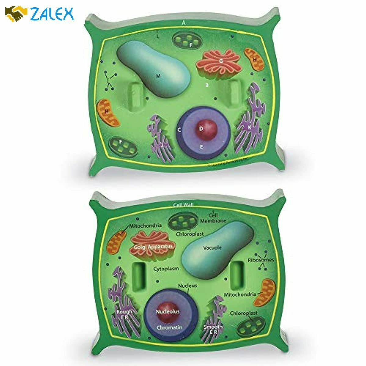 Learning Resources Cross-Section Plant Cell Model, Plant ...
