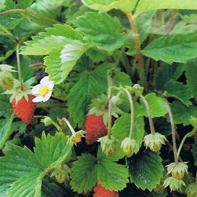 Wild Strawberry - Red- Fragaria Vesca- 100 Seeds (Wild Strawberries Seeds)