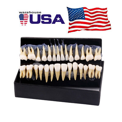 28pcs Dental Teaching Study Teeth Model 11 Permanent Demonstration7008 Usps