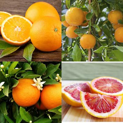 Grafted Orange Citrus Trees 32