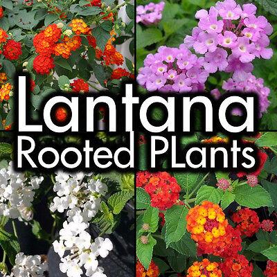 Lantana Plants   Trailing Lavender  White  Gold