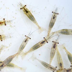 Live River shrimp - 5 bags for £10.95 including postage and packing