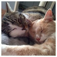 Temp rehome for 2 cats High Wycombe Kalamunda Area Preview
