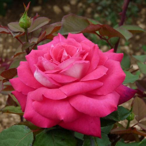 HELMUT KOHL Live rose plant bare root in a box Large-Flower Hybrid Tea rose