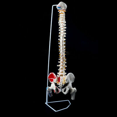 33.5 Life Size Human Anatomical Anatomy Spine Teaching Model Pelvis New