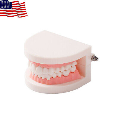 Easyinsmile Dental Standard Adult Tooth Typodont Demonstration Teaching Model