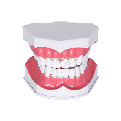 Dental 1 2 Large Teaching Study Model Dentist Patient Teeth Tooth Model