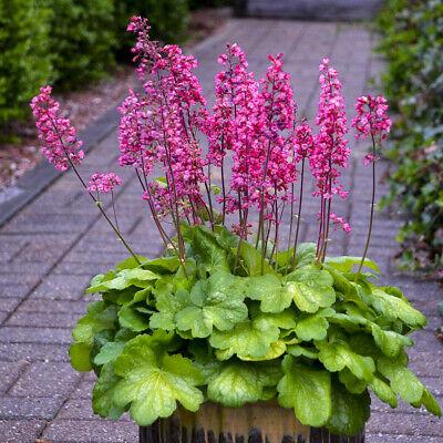 Glowing Flower Pots (heuchera TIMELESS GLOW new colorful coral bells 2.5