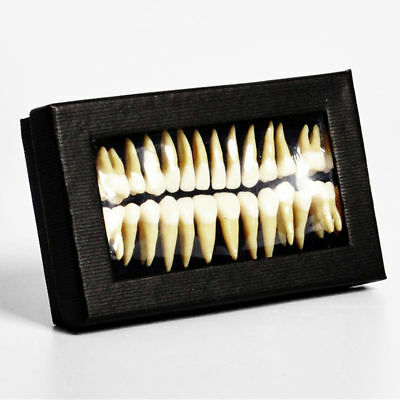 1 Set 11 Permanent Teeth Demonstration Teach Dental Study Model Tooth 7008