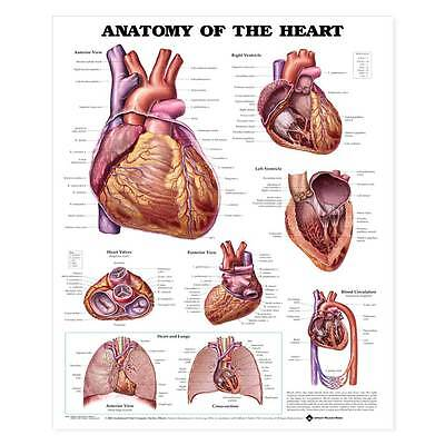 Anatomy Of The Heart Educational Chart 20x 26 Full Colorlabeled Illustrations