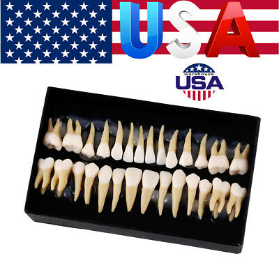 Us 28pcsset Dental 11 Permanent Teeth Model Demonstration Teach Study 7008