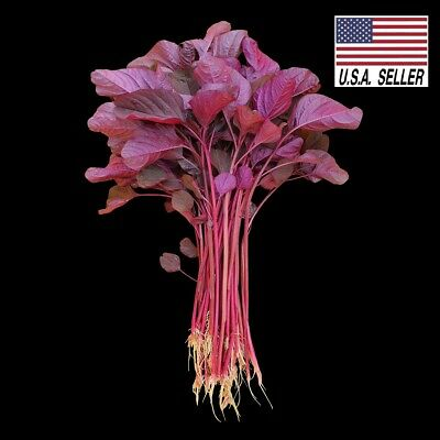 2,000+ Red spinach seed* Amaranth *100% Fresh * Asian Vegetables seeds.?????