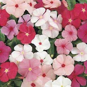 Vinca- Periwinkle- Mixed colors- 50 Seeds- BOGO 50% off SALE