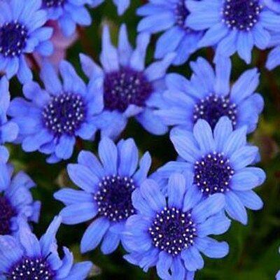 Blue Daisy-Felicia Heterophylla Blue- 25 seeds- BOGO 50% off SALE for sale  Lakemore
