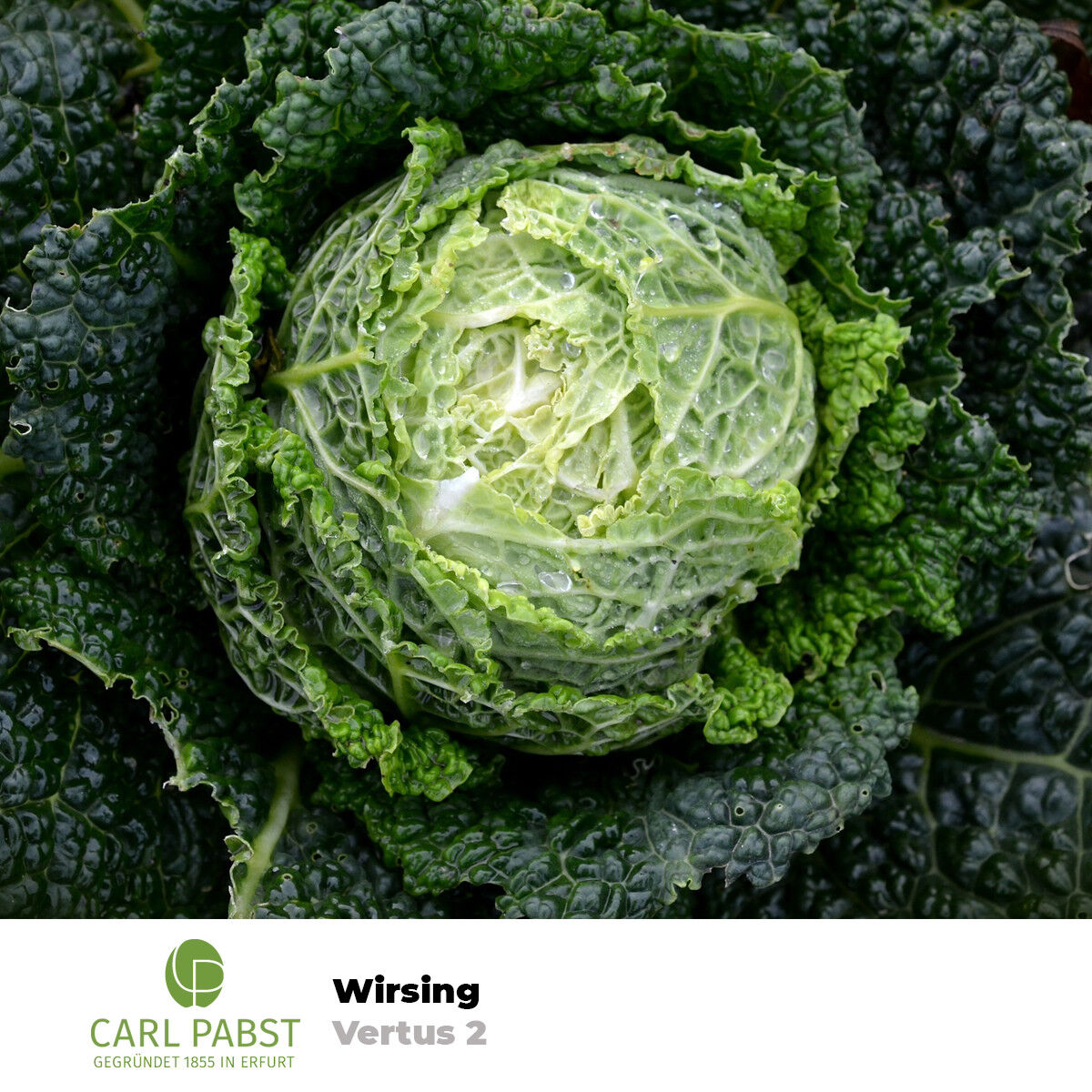 🥬 Kohl Samen Wirsing Vertus 2 Wirsingkohl Welschkohl Welschkraut 80 Pflanzen
