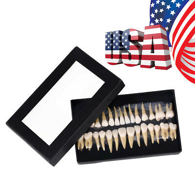Dental 11 Permanent Teeth Demonstration Teach Study Model 7008
