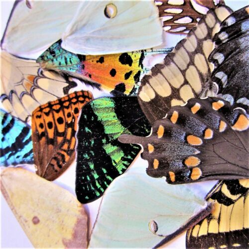 5 Real butterfly wings, insect taxidermy, wholesale