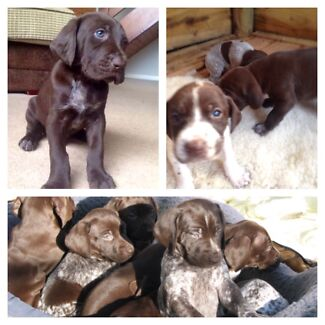 German Shorthaired Pointer Puppies Bonnet Hill Kingborough Area Preview