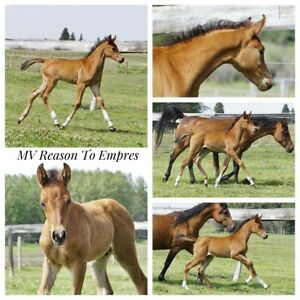 Pure Polish Arab Colt - Western or Sport Horse Prospect