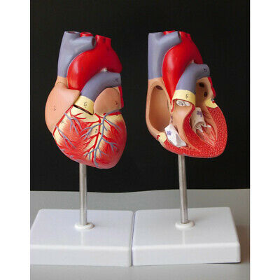Life Size Human Heart Model Anatomical Cardiac Model Learning Lab Supplies New