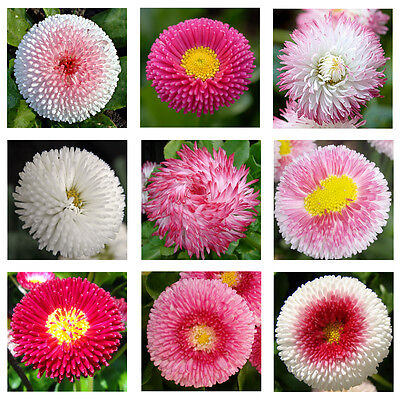 - English Daisy Double Mix 500 seeds * Elegant * Beautiful * Cut flower CombSH A67
