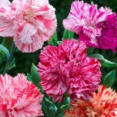 Carnation- Chabaud Picotee Mix- 50 Seeds- BOGO 50% off SALE