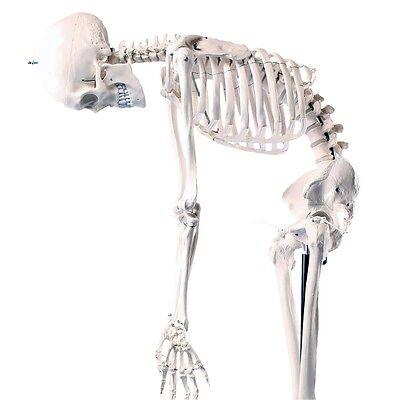 Skelett Modell, flexible Wirbelsäule, lebensgroß, Anatomie Ausbildung