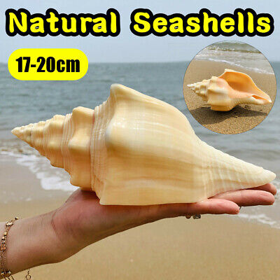 Large 17-20cm Natural Conch Shells Coral Sea Snail Fish Tank Home Ornament Craft, used for sale  China