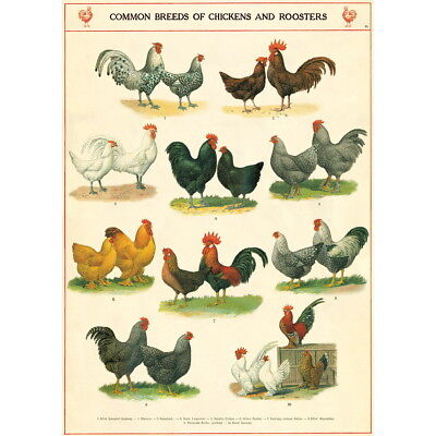 Chicken Rooster Breeds Chart Vintage Style Poster Decorative Paper Ephemera