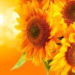 sunflowerlaptops