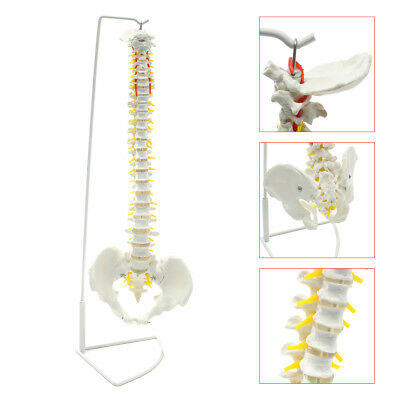 Life Size Flexible Anatomical Human Skeleton Spine Model Stand 73cm