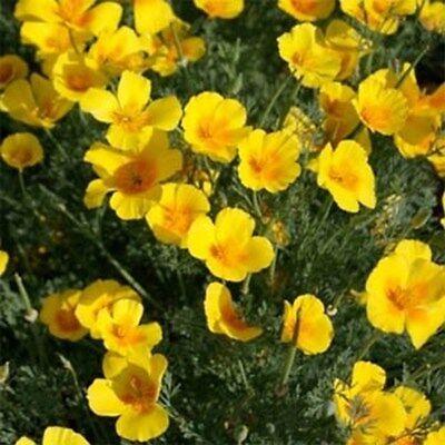 Poppy- California Gold- 500 Seeds- BOGO 50% off SALE