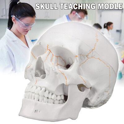 Life Size Human Anatomical Anatomy Skeleton Head Skull Precise Teaching Model