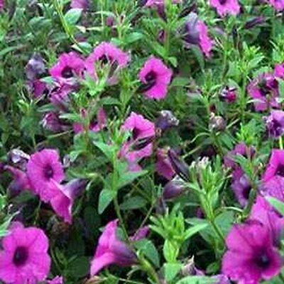 Petunia- Wild Violacea- 100 Seeds  ()