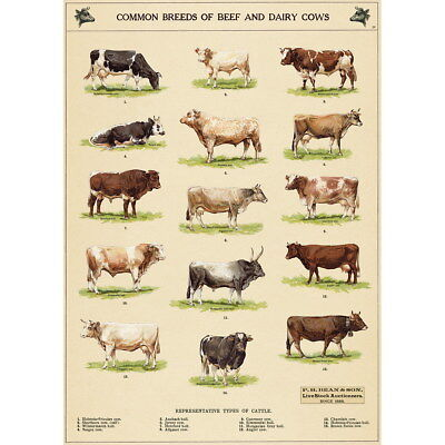 Cow Chart Vintage Style Cattle Breeds Poster Decorative Paper Ephemera