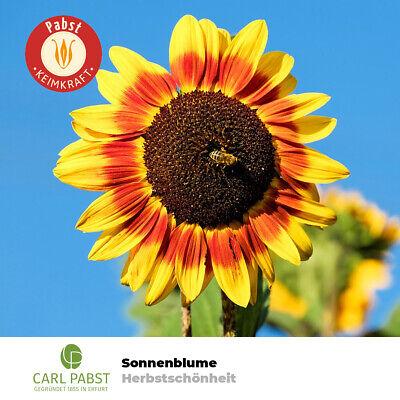 Sonnenblume 20 Samen (Sonnenblume Herbstschönheit Fackel 20 Pflanzen Samen ca. 200cm Sämereien Garten )