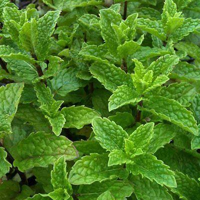 Marokkanische Minze (Mentha spic. var. spicata) Teepflanze + Duftpflanze (Tee Marokkanische Minze)