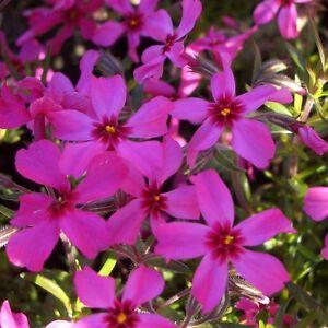 Polsterphlox (Phlox subulata) SCARLET FLAME Frühlingsblüher + reiche Blüte