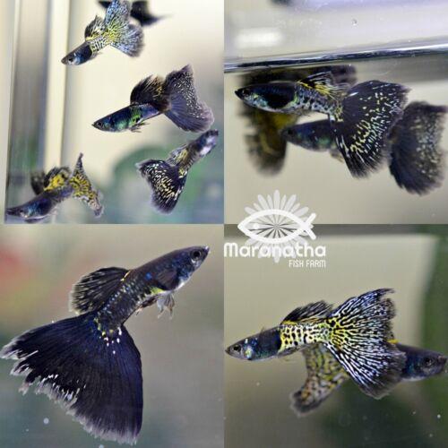 1 Live Pair Black Lace Guppies Fish USA Bred