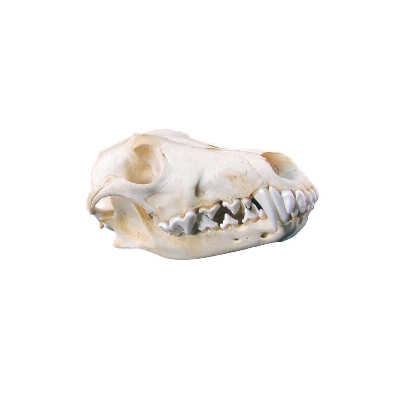 Authentic Coyote Skull Real Taxidermy Genuine Animal Bones Hunting Cabin Decor