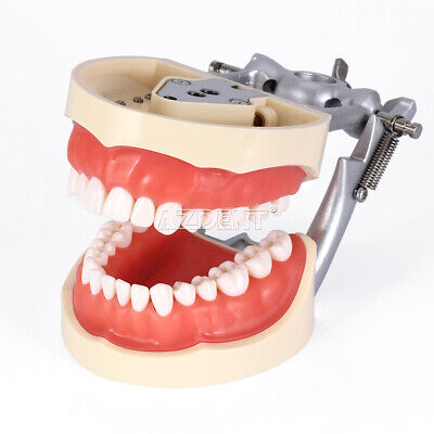 Dental Teeth Typodont Model Kilgore Nissin 200 Type With Removable