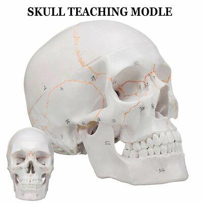 Model Head Skeleton Skull Medical Science Teaching Life-size For Anatomy